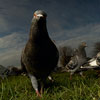 Panoramic Pigeon